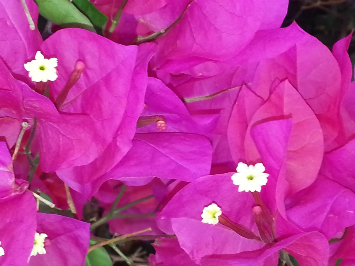 bougainvilla closeup