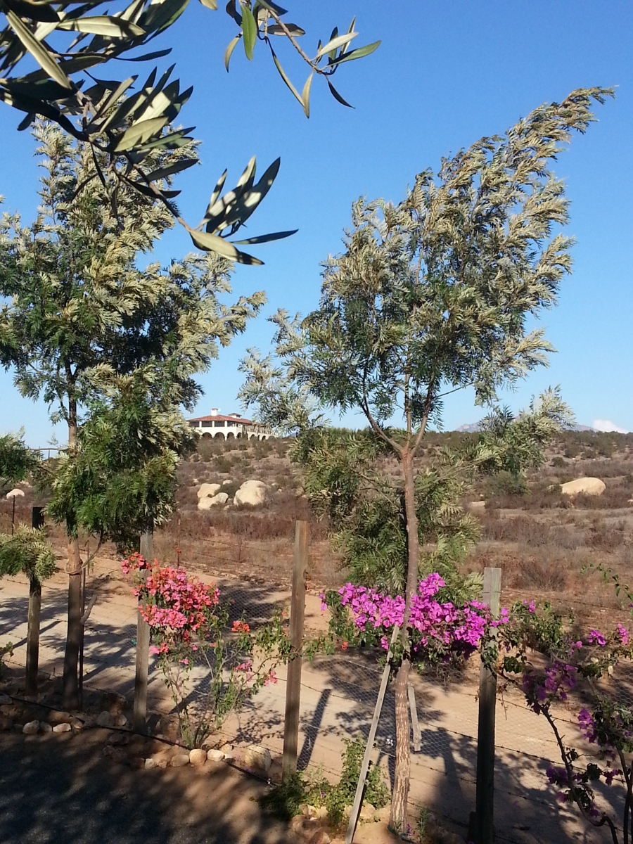 olive trees bougainvilla