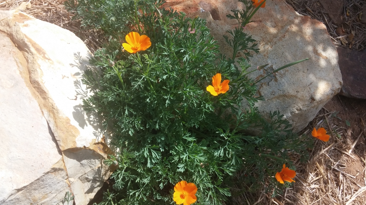 poppies_rocks